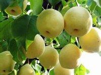 礼泉烟霞湾里产的酥梨