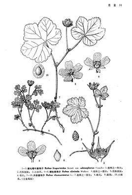 腺毛莓叶悬钩子