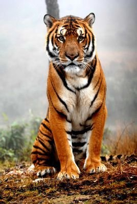 最后一只新疆虎死去