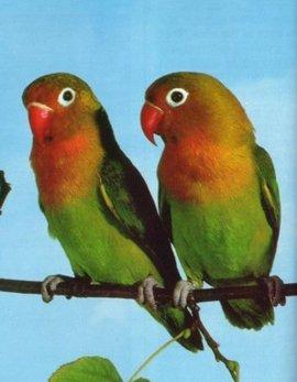 动物 鸟 鹦鹉 270