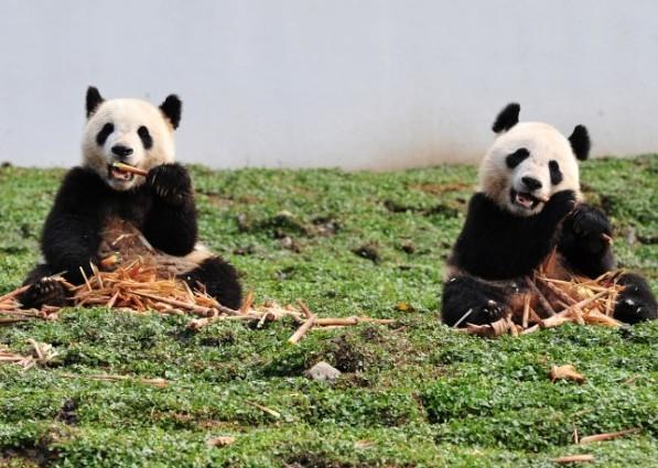 动物头像面具 熊猫