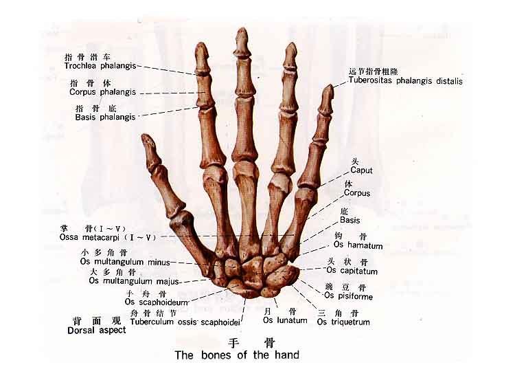 运动局部解剖学