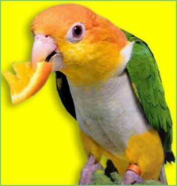 壁纸 动物 鸟 鹦鹉 350_368