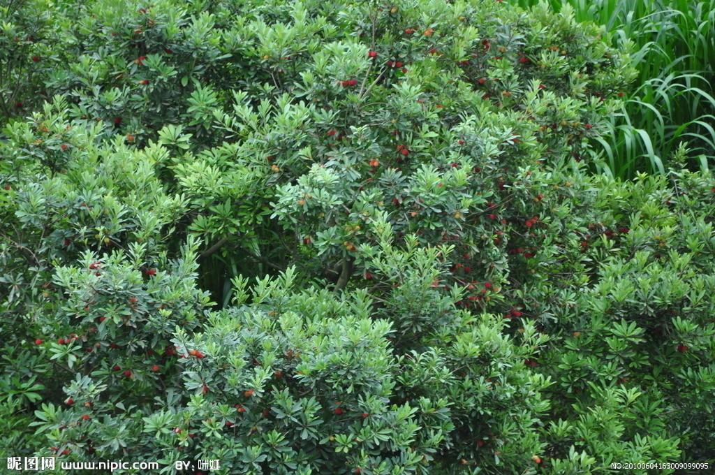 【来源】为杨梅科植物毛杨梅的树皮或杨梅树根皮.全年可采,切片晒干.