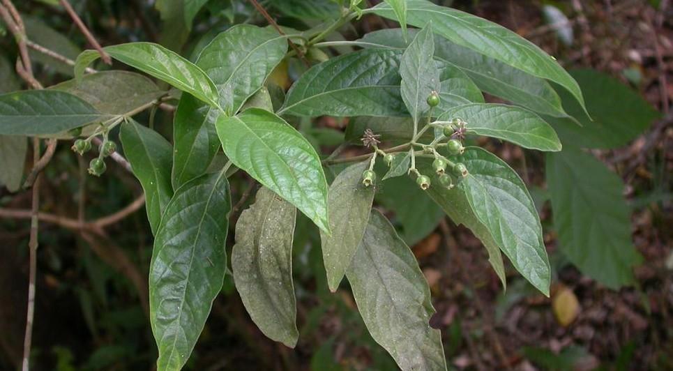 白花苦灯笼(广东北部)乌口树(植物名实图考),密毛乌口树(海南植物志)