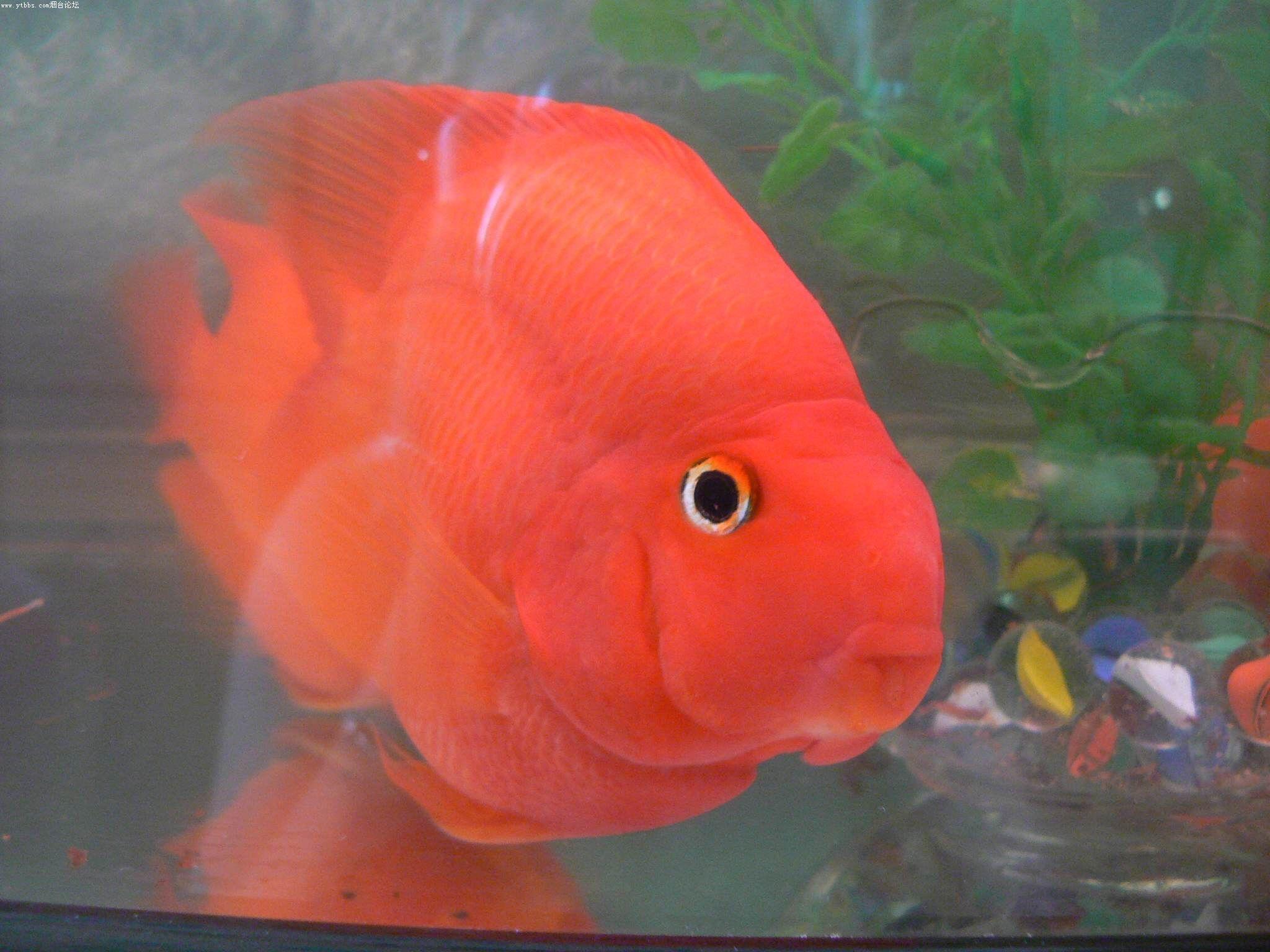 金刚鹦鹉鱼与血鹦鹉有什么区别 10厘米内的金刚鹦鹉鱼的价格是多少图片