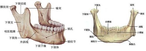 智齿的位置从门牙牙缝开始