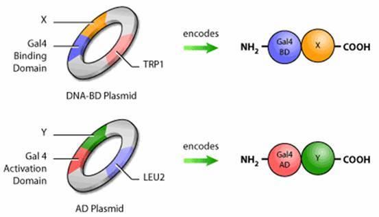 酵母菌细胞的基本结构